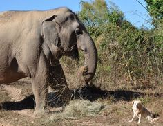 "Check out www.elephamts.com: ""Tarra and Bella's devoted relationship warmed the hearts of everyone who heard their story. The unlikely duo of an elephant and a dog reminded each of us of the importance of loving one other, despite our differences. Bella trusted Tarra so completely, she would let the giant elephant stroke her stomach with her foot and caress her with her trunk."" The sanctuary is in Tennessee."