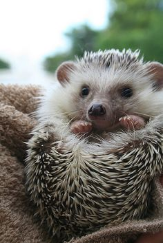 .American hedgehog has a white face whereas a British hedgehog is brown