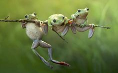 Photographer Harfian Herdi shot these tree frogs clambering onto a branch while out walking in the forest next to his home in the Sambas region of Indonesian Borneo Picture: HARFIAN HERDI / MEDIA DRUM