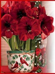 Christmas Amaryllis from Jackson Perkins - http://www.jacksonandperkins.com/gardening/GP/homepage/AmaryllisGifts