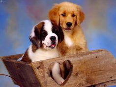 st bernard and golden retreiver puppies