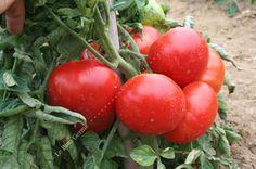 Tomate Marmande - Variété classique à fruit côtelé rond, précoce. Résistante aux maladies.