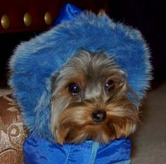 Bundled Yorkie