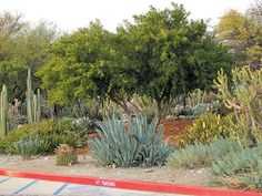 Among the earliest plantings on the Pitzer College campus, a multi-trunked specimen of Texas ebony (Pithecellobium flexicaule) dominates the center of a bed, surrounded by pipe organ cactus (Pachycereus marginatus) and Agave datylio vexans on the left, a silvery century plant (Agave americana) in front center, and Cylindropuntia cholla and Euphorbia rigida on the right. Photographs by author, except as noted. Succulent Landscaping, Succulents Garden, Garden Plants, Hunting Cabin, Desert Plants, Garden Inspiration, Garden Ideas, Horticulture, Botanical Gardens