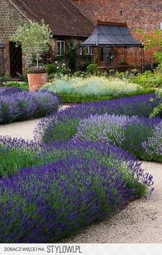 Lavendel auf Kiesbeeten. Toll für sonnige Vorgärten. Zusammen mit Rosen und Heiligenkraut. Ein Traum