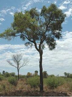 Objetivo Específico: Protección de los bosques nativos de Quebracho Colorado, árbol característico de los montes de Copo y especie emblemática de la eco-región chaqueña.