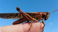 Locusts Threaten to Devastate Argentinian Agriculture