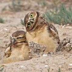 Burrowing Owlets. I saw some of these in Marathon, Florida. They are a protected endangered species, and are truly adorable!