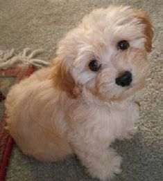 Google Image Result for http://www.doggylaine.com/resources/MaddieTheHavanese.jpg