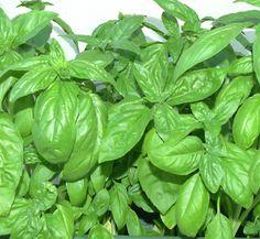 nombre de plantas aromaticas - Buscar con Google