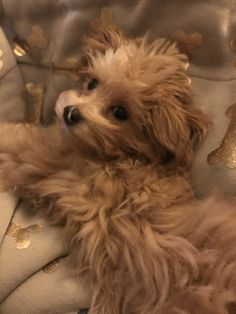 Cavapoo puppy for sale in COLORADO SPRINGS, CO. ADN65487
