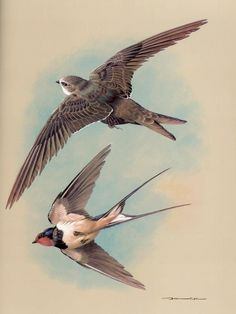 Old print showing a Chimney Swift and a Swallow.
