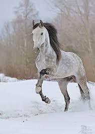 Résultats de recherche d'images pour « cheval champagne pommelé »
