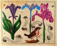 """Livres de Fleurs"""" a book by François L'Anglois from 1620."""