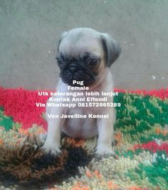 VON JAVELLINE KENNEL  Pug  1 Female  Stamboom on progress , vaksin done  Obat cacing done Anni Effendi Whatsapp 081572985289 Pin BBM 51A22388  www.facebook.com/VonJavellineKennel breederanjingras.blogspot.co.id vonjavellinekennel.wordpress.com IG : von_javelline_kennel  #jualpugpuppies #anjingpug #pugberkualitas  #pugsofinstagram  #lovelypug  #anjingpug  #anjingpugmurah  #anjingpugdijual #anjingpugjakarta  #anjingpugbandung  #anjingpugsolo  #anjingpugjogja  #pugsurabaya  #puglovers…