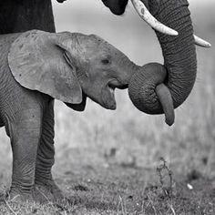 Got Your Nose funny cute memes animals elephant animal meme humor elephants Animals And Pets, Baby Animals, Funny Animals, Cute Animals, Nature Animals, Cute Baby Elephant, Elephant Gifts, Mama Elephant, Newborn Elephant