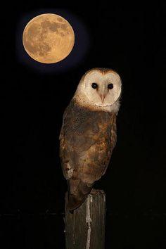 Uil onder de maan.