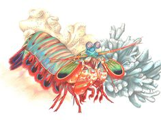 Mantis Shrimp Print via Etsy