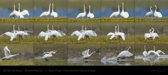 Trumpeter Swans_Mating Display