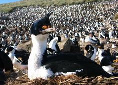 Imperial Shag (Phalacrocorax atriceps) colony