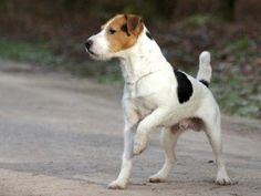 Tips to Handling Shedding of Your Jack Russell Terrier #JackRussellTerrier #dog #grooming