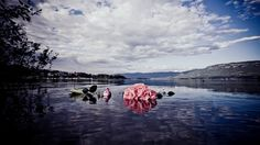 Roses floating in the water outside Utøya island in Norway. Last friday a terrorist killed 69 young people on this beautiful place.