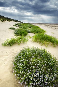 The Dunes of Thrift, Norfolk Coast, England (by AndyV12).