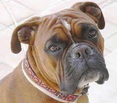 Le Boxer est une race canine d'origine allemande, qui fait partie de la famille des molosses venus d'Orient. À l'ère chrétienne, les molosses ont acquis des physionomies différentes selon les pays[1].  Il a été créé comme chien de défense dans le but de retrouver la race originelle du Bullenbeisser qui, à force de croisements incontrôlés, était devenu trop agressif (Bierboxer).