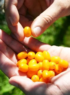 The Truth About Sea Buckthorn – Mont Echo Naturels Home Remedies, Natural Remedies, Tree Seeds, Food Industry, Fruit, Good To Know, Health And Wellness, Berries, Global Economy