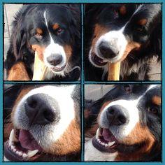 Gaston,le Grand et superbe chien de A la folie....