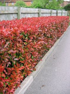 Photinia Red Robin HedgePhotinia Red Robin is a popular fastgrowing evergreen shrub that makes an attractive garden hedge if it is pruned twice a year It has bright red y. Hedges Landscaping, Garden Hedges, Backyard Landscaping, Photinia Red Robin, Laurel Hedge, Evergreen Hedge, Boxwood Hedge, Hedging Plants, Hedging Ideas