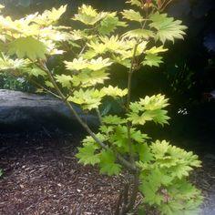 Acer shirasawanum' (japonicum) 'Aureum'