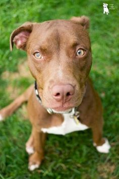Colby. Young female Pit Bull Terrier/Labrador Retriever Mix for adoption in Rochester, New York. Click to see her page on PittyLoveRescue.