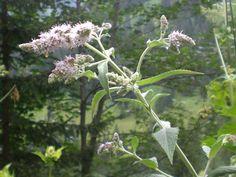 Rossminze (Mentha longifolia) #Kleinwalsertal. Sie wird in der Volksheilunde eingesetzt. Für was wir sie gerne einsetzen, und woher sie ihren Namen hat, erfahren Sie bei unserer Kräuterwanderung.
