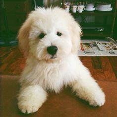 """teddy bear"" dog."