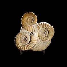 wasbella102:  Mantelliceras Ammonite Commune, Mesozoic Era, Lower Cretaceous Period (ejemplo natural)