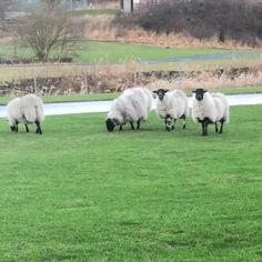 Visitors at the bus museum. They make great lawnmowers but unfortunately don't clean up after themselves. 🙄🐑 #sheepatthebusmuseum #svbmlathalmond #svbm Chainmaille, Sterling Silver Jewelry, Sheep, Museum, Animals, Animales, Animaux, Animal, Animais
