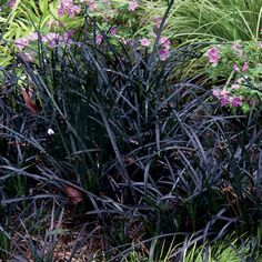 Black Mondo Grass with Small pink flowers Will LOVE THIS IN MY YARD