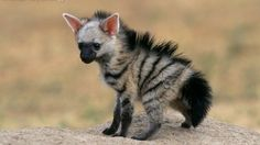 "Aardwolf pup [The aardwolf is a small, insectivorous mammal, native to East Africa and Southern Africa. Its name means ""earth wolf"" in the Afrikaans / Dutch language.]"