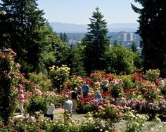 The Portland Rose Garden in Washington Park features more than 10,000 roses, plus spectacular views of downtown and Mount Hood.