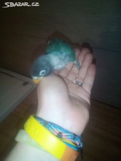 Zadávám k rezervaci ručně dokrmené miminka agapornis škraboškový. Miminka se ještě dokrmují. Cena za jedno miminko 1000kč. Možnost k dokrmení… Parrot, Bird, Parrot Bird, Birds, Parrots, Birdwatching