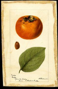 Passmore, Deborah Griscom, 1840-1911 Scientific name: Diospyros Common name: persimmons Variety: Godbey