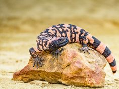 Hatchling Gila Monsters Don't Leave Their Nest For Up To 10 Months, Study Says Gila Monster, Reptiles And Amphibians, Flora And Fauna, Animal Design, Continents, Lizards, Chameleons, Snakes, Animals