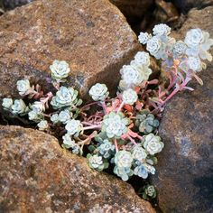Sedum and other succulents good for rock gardens.