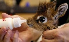 Baby giraffe being fed from a bottle
