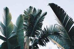 Summer palms | Tropical; photography; palm trees; palm fronds; escape; blue sky; heat; breeze; pool party; holiday | MINTY WARES | VIA - trauermusik