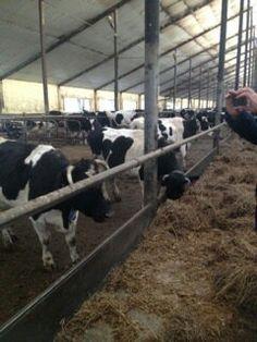 Высокопродуктивных коров доят 2 раза в сутки....   Высокопродуктивных коров доят 2 раза в сутки..... Однако не каждая корова повышает удой от увеличения числа доек. У коров с относительно небольшим выменем увеличение числа доений повышает удой, коровы же с развитым выменем на это не реагируют. В стадах с удоями коров 3—5 тыс. кг переход с трехкратного на двукратное доение не вызывал снижения продуктивности.  В ряде хозяйств высокопродуктивных коров доят 2 раза в сутки и это не снижает их…