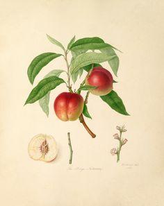 William Hooker -- The Elruge Nectarine -- William Hooker -- Artists -- RHS Prints
