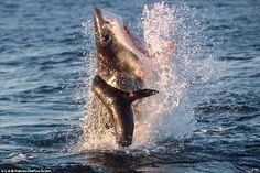 A great white shark breaching a seal pup in a ferocious attack captured in Jeffreys Bay, in the eastern cape province of South Africa Life Pictures, Funny Pictures, Jokes Videos, Seal Pup, Cold Treatment, Animal Magic, Great White Shark, Fitness Gifts, Ocean Life