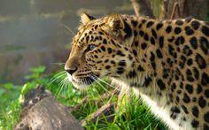 leopard profile | Leopard, the amur, face, creeping, profile wallpaper - ForWallpaper ...